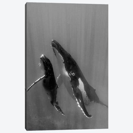 Pacific Islands, Tonga. Mother and Calf, Humpback Whales Canvas Print #JZI1} by Judith Zimmerman Canvas Art