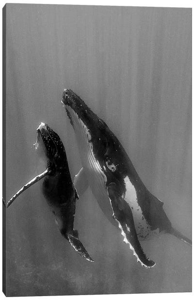 Pacific Islands, Tonga. Mother and Calf, Humpback Whales Canvas Art Print