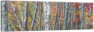 USA, Maine. Colorful autumn foliage in the forests of Sieur de Monts Nature Center. Canvas Art Print