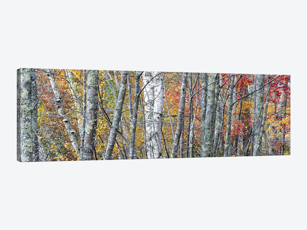 USA, Maine. Colorful autumn foliage in the forests of Sieur de Monts Nature Center. by Judith Zimmerman 1-piece Canvas Print