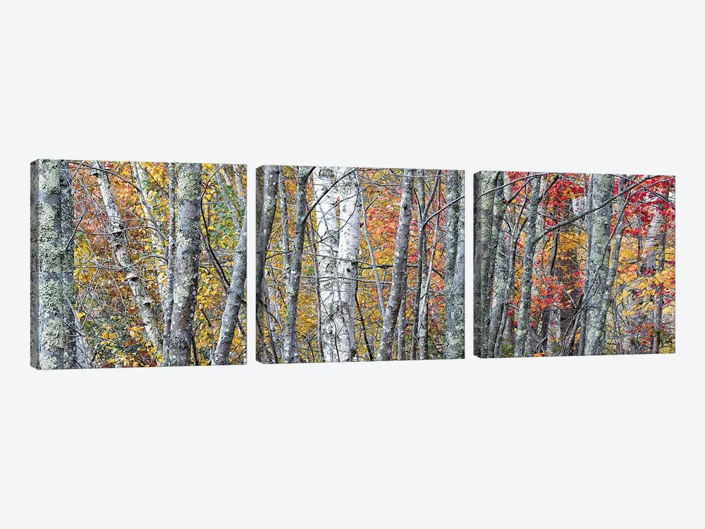 USA, Maine. Colorful autumn foliage in the forests of Sieur de Monts Nature Center. by Judith Zimmerman 3-piece Art Print