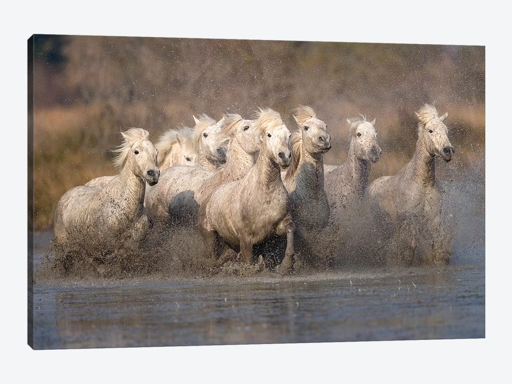 Galloping Herd Of Camargue Horses I, Camargue, Provence-Alpes-Cote d'Azur, France by Jim Zuckerman 1-piece Canvas Artwork