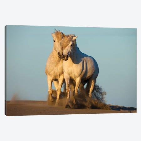Pair Of Trotting Camargue Horses, Camargue, Provence-Alpes-Cote d'Azur, France Canvas Print #JZU3} by Jim Zuckerman Canvas Print