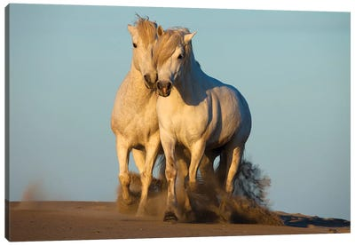 Pair Of Trotting Camargue Horses, Camargue, Provence-Alpes-Cote d'Azur, France Canvas Art Print