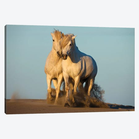 Pair Of Trotting Camargue Horses, Camargue, Provence-Alpes-Cote d'Azur, France Canvas Print #JZU3} by Jim Zuckerman Canvas Print