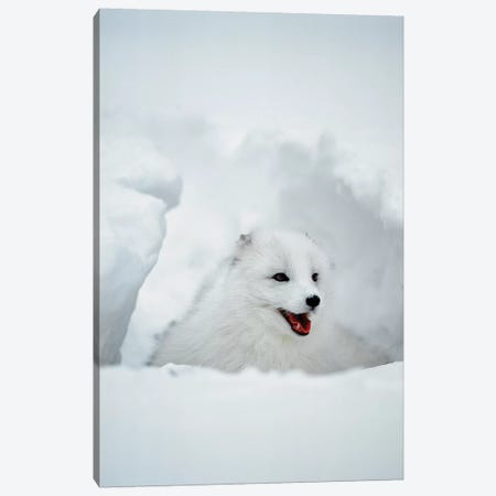 Arctic Fox, Alaska, USA Canvas Print #JZU5} by Jim Zuckerman Canvas Artwork