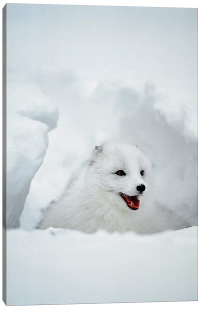 Arctic Fox, Alaska, USA Canvas Art Print