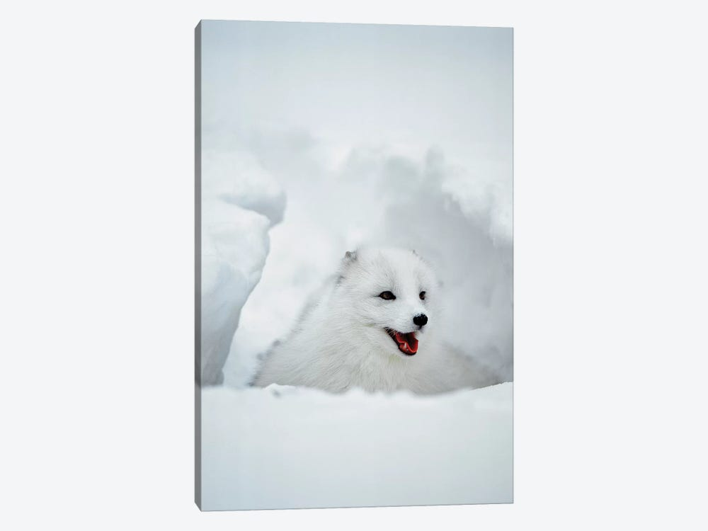 Arctic Fox, Alaska, USA 1-piece Art Print