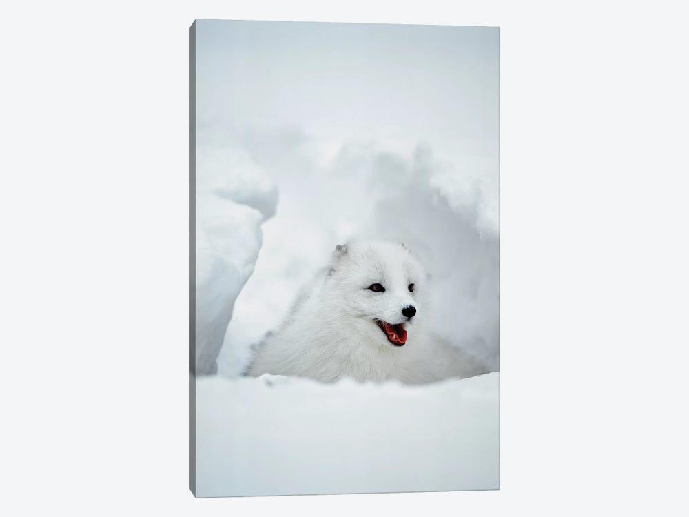 Arctic Fox, Alaska, USA by Jim Zuckerman 1-piece Art Print