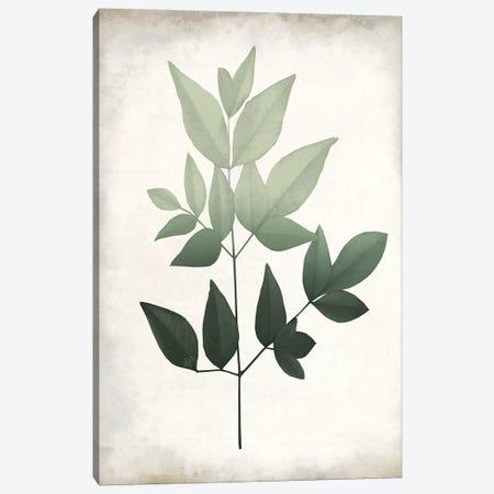 Vintage Botanical Greens II Canvas Print #KAL721} by Kimberly Allen Canvas Art Print