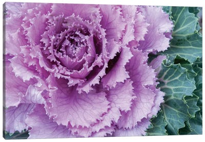 Adirondack Region, New York, USA. Cabbage flower. Canvas Art Print
