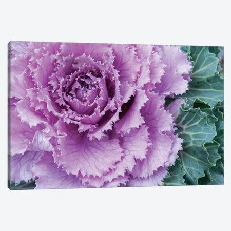 Adirondack Region, New York, USA. Cabbage flower. Canvas Print #KAS1} by Karen Ann Sullivan Art Print
