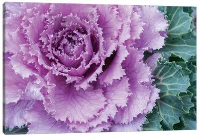 Adirondack Region, New York, USA. Cabbage flower. Canvas Art Print