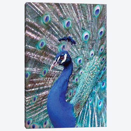 Costa Rica, Central America. India Blue Peacock displaying. Canvas Print #KAS2} by Karen Ann Sullivan Art Print