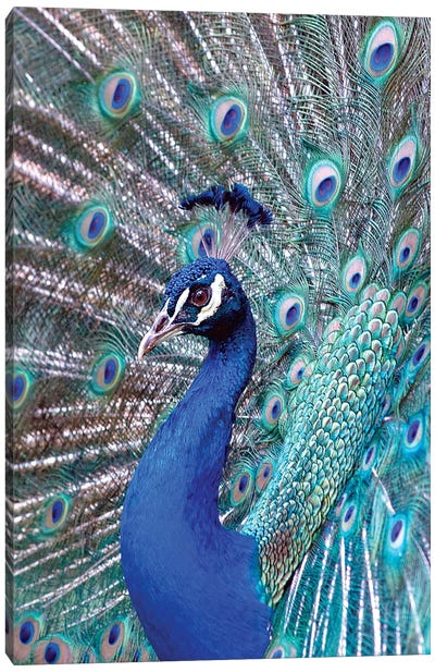 Costa Rica, Central America. India Blue Peacock displaying. Canvas Art Print