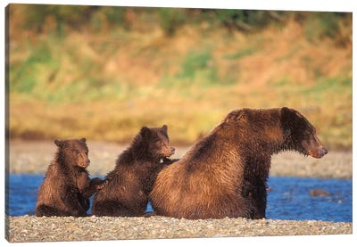 Brown Bear, Grizzly Bear, Sow With Cubs, Katmai National Park, Alaskan Peninsula Canvas Art Print