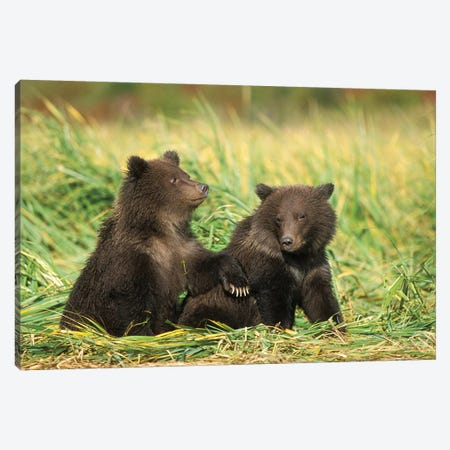Grizzly Bear, Brown Bear, Cubs Sitting In Tall Grass, Katmai National Park, Alaskan Peninsula Canvas Print #KAZ11} by Steve Kazlowski Canvas Art