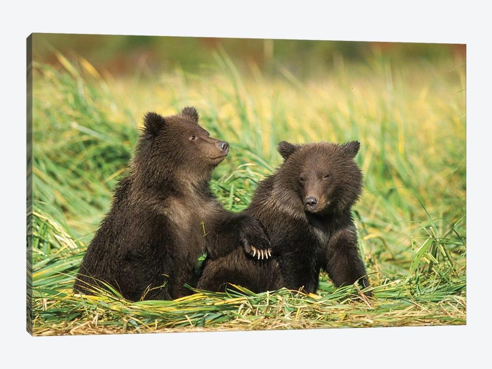 Grizzly Bear, Brown Bear, Cubs Sitting In Tall Grass, Katmai National Park, Alaskan Peninsula by Steve Kazlowski 1-piece Canvas Art Print
