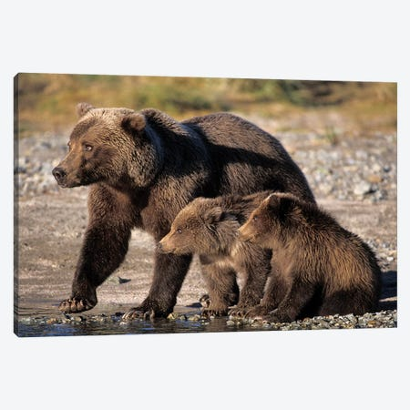 Grizzly Bear, Brown Bear, Sow With Cubs, Katmai National Park, Alaskan Peninsula Canvas Print #KAZ12} by Steve Kazlowski Canvas Art