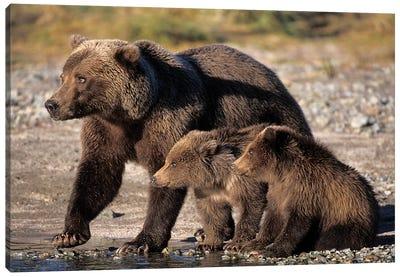 Grizzly Bear, Brown Bear, Sow With Cubs, Katmai National Park, Alaskan Peninsula Canvas Art Print