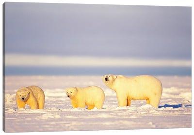 Polar Bear, Ursus Maritimus, Sows With Cubs On The Frozen 1002 Coastal Plain, Arctic National Wildlife Refuge, Alaska Canvas Art Print
