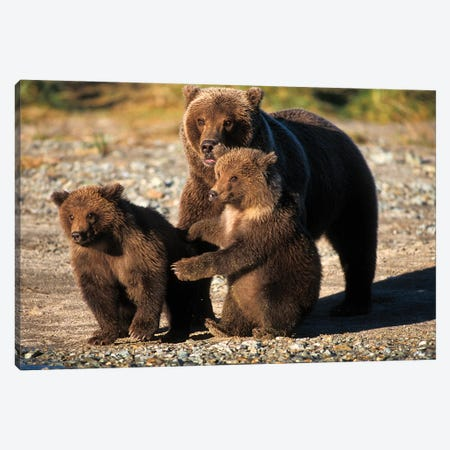 Brown Bear, Grizzly Bear, Sow With Cubs On Coast Of Katmai Np, Alaskan Peninsula Canvas Print #KAZ14} by Steve Kazlowski Art Print