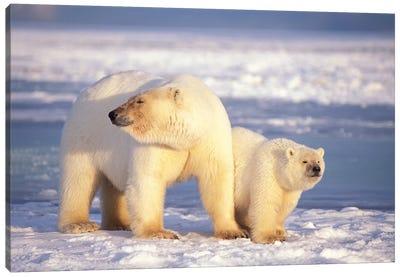 Polar Bear Sow With Cub On Pack Ice Of Coastal Plain, 1002 Area Of The Arctic National Wildlife Refuge, Alaska Canvas Art Print
