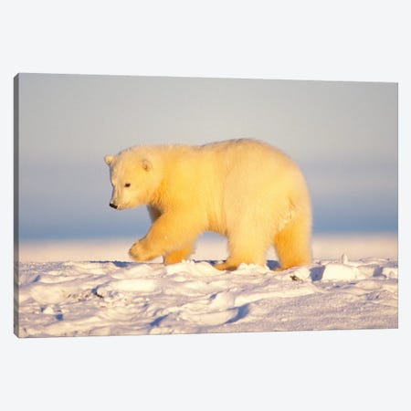 Polar Bear Cub Walking On The Ice, Area 1002, Coastal Plain, Arctic National Wildlife Refuge Canvas Print #KAZ16} by Steve Kazlowski Canvas Print