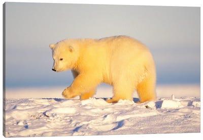 Polar Bear Cub Walking On The Ice, Area 1002, Coastal Plain, Arctic National Wildlife Refuge Canvas Art Print
