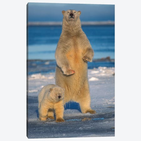 Polar Bear Sow With Cub Stands To Assess Any Danger On The Pack Ice, Arctic National Wildlife Refuge, Alaska Canvas Print #KAZ17} by Steve Kazlowski Canvas Art Print