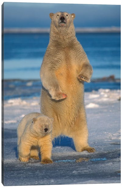 Polar Bear Sow With Cub Stands To Assess Any Danger On The Pack Ice, Arctic National Wildlife Refuge, Alaska Canvas Art Print