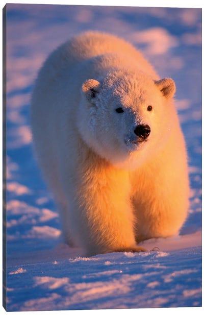 Polar Bear, Ursus Maritimus, Cub On The Pack Ice At Sunset, 1002 Area Of The Arctic National Wildlife Refuge, Alaska Canvas Art Print