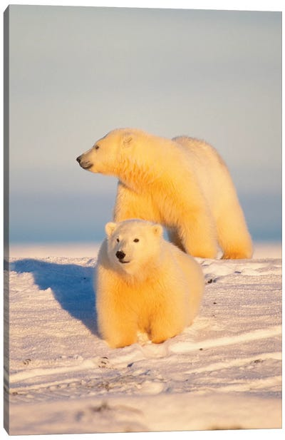 Polar Bear Sow With Cub, Area 1002, Coastal Plain, Arctic National Wildlife Refuge Canvas Art Print