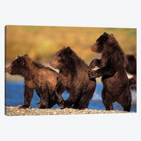 Three Grizzly Cubs Cautiously Wait For Their Mother Streamside, Katmai National Park & Preserve Canvas Print #KAZ20} by Steve Kazlowski Art Print