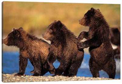 Three Grizzly Cubs Cautiously Wait For Their Mother Streamside, Katmai National Park & Preserve Canvas Art Print