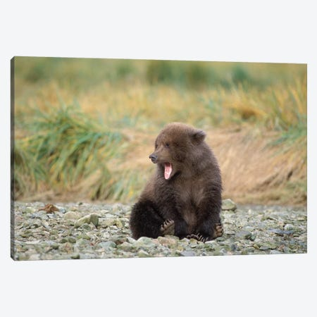 Brown Bear, Ursus Arctos, Grizzly Bear, Ursus Horribils, Cub Yawning With Mosquitos Surrounding It, Katmai National Park, Alaska Canvas Print #KAZ22} by Steve Kazlowski Canvas Art Print