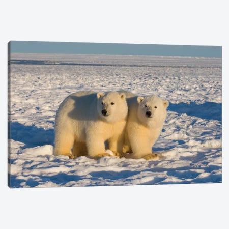 Polar Bear, Ursus Maritimus, Cubs Play, 1002 Coastal Plain Of The Arctic National Wildlife Refuge, Alaska Canvas Print #KAZ23} by Steve Kazlowski Canvas Art Print