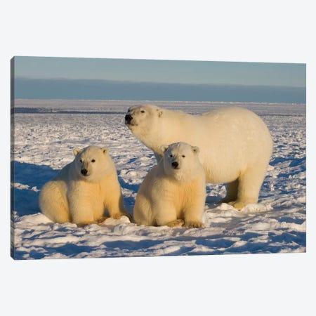 Polar Bear, Ursus Maritimus, Sow With Cubs On The Pack Ice, 1002 Coastal Plain Of The Arctic National Wildlife Refuge, Alaska Canvas Print #KAZ24} by Steve Kazlowski Canvas Wall Art
