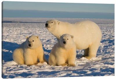 Polar Bear, Ursus Maritimus, Sow With Cubs On The Pack Ice, 1002 Coastal Plain Of The Arctic National Wildlife Refuge, Alaska Canvas Art Print