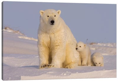 Polar Bear Sow With Newborn Cubs Newly Emerged From Their Den, Arctic National Wildlife Refuge Canvas Art Print
