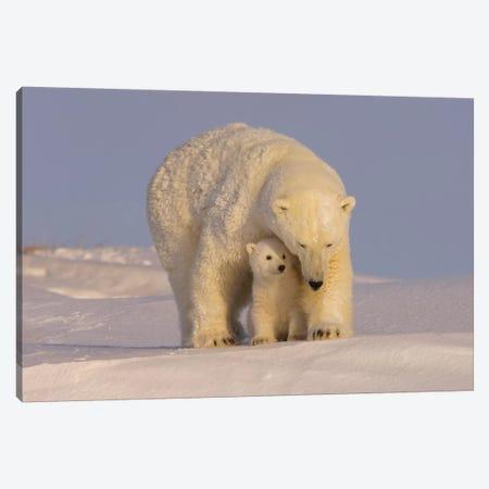 Polar Bear Sow With Newborn Cubs Newly Emerged From Their Den, Mouth Of Canning River, ANWR, Alaska Canvas Print #KAZ26} by Steve Kazlowski Canvas Artwork