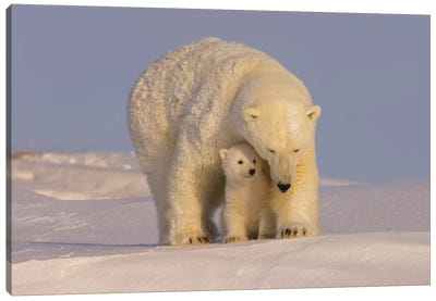 Polar Bear Sow With Newborn Cubs Newly Emerged From Their Den, Mouth Of Canning River, ANWR, Alaska Canvas Art Print