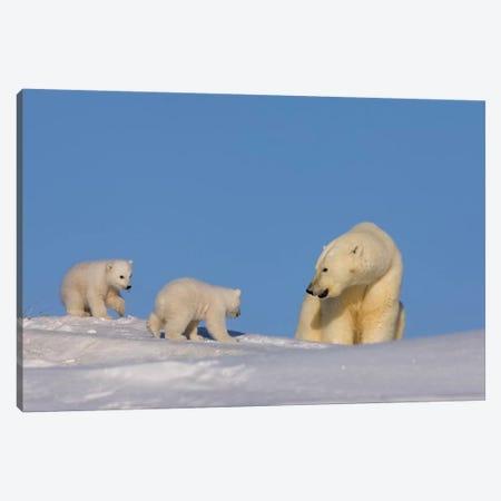 Polar Bear Sow Playing With Her Newborn Cubs Outside Of Their Den, Arctic National Wildlife Refuge Canvas Print #KAZ27} by Steve Kazlowski Canvas Artwork