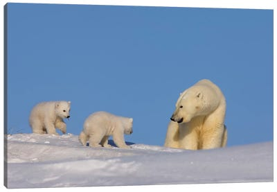 Polar Bear Sow Playing With Her Newborn Cubs Outside Of Their Den, Arctic National Wildlife Refuge Canvas Art Print