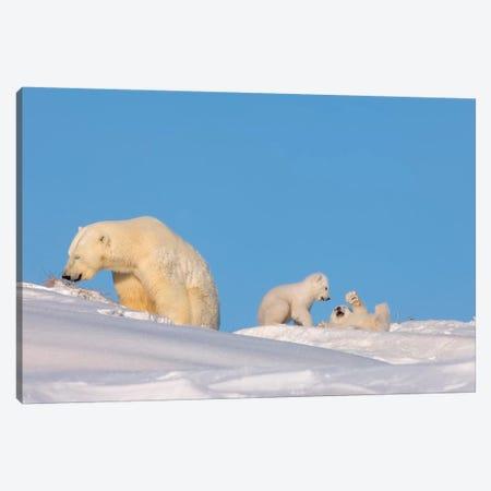 Polar Bear Sow Feeding While Her Newborn Cubs Play, Arctic National Wildlife Refuge Canvas Print #KAZ28} by Steve Kazlowski Canvas Art Print