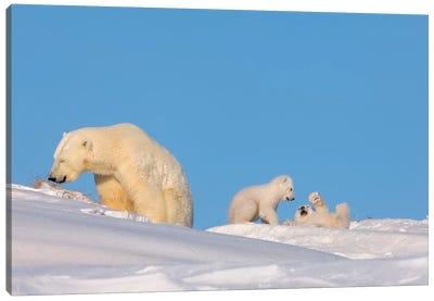 Polar Bear Sow Feeding While Her Newborn Cubs Play, Arctic National Wildlife Refuge Canvas Art Print