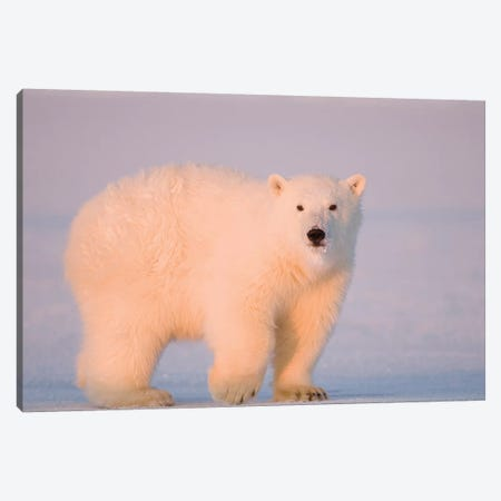 A Tagged Spring Polar Bear, Ursus Maritimus, Cub Along The Arctic Coast At Sunset. Arctic National Wildlife Refuge, USA, Alaska, Canvas Print #KAZ29} by Steve Kazlowski Canvas Art Print