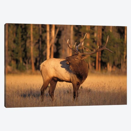 Bellowing Bull Elk I, Yellowstone National Park, Montana, USA Canvas Print #KAZ2} by Steve Kazlowski Canvas Wall Art