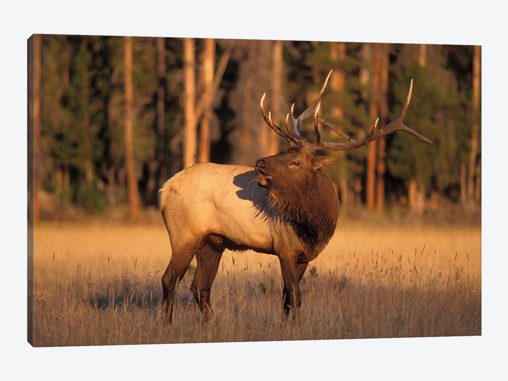 Bellowing Bull Elk I, Yellowstone National Park, Montana, USA by Steve Kazlowski 1-piece Canvas Art Print