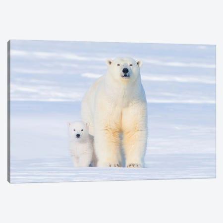 Polar Bear Sow With Spring Cub Newly Emerged From Their Den, Area 1002, Arctic National Wildlife Refuge Canvas Print #KAZ30} by Steve Kazlowski Canvas Wall Art